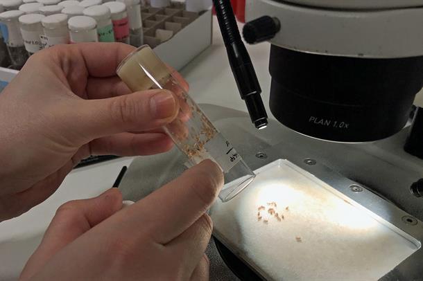 Bananfluer studeres under mikroskop